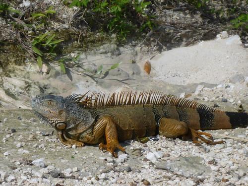 Iguana iguana (Green Iguana) - male