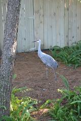 Crane 15/12/2016 - 1 (s.kosoris) Tags: skosoris nikond3100 d3100 nikon tampa tampazoo bird crane animal