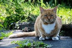 Cat (elka.) Tags: cat chat katze katte kot katt neko kotka nikon cats kucing kedi kissa kat gata gatta gato gatto gatti gatz animal animals nature street summer γάτα кошка кошки feline котка