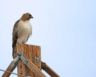 Red Tailed Hawk 5028