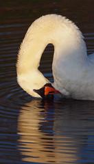 2016_12_0572 (petermit2) Tags: muteswan swan clumberpark clumber sherwoodforest sherwood nottinghamshire nationaltrust nt