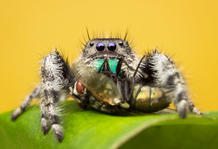phidippus Audax (ivandcastrillon) Tags: jumping spider araña salticidae fly background antioquia usa eu insect prey canon camera city colours medellin mm macro close up photography photo diversidad animals exterior reflex colombia ngc