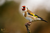 Goldfinch (ABPhotosUK) Tags: animals birds bokeh canon cardueliscarduelis dartmoor devon ef100400mmisii eos7dmarkii finches fringillidae garden goldfinch nocrop seasons wildlife winter