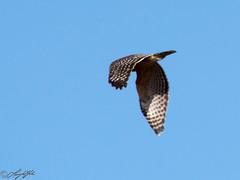 Red-shouldered Hawk (larryyorknh) Tags: birds floridakeys