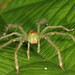 green spider with bright orange markings - indet. from W-Papua