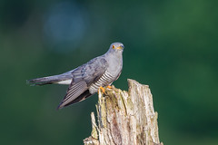 Evening Cuckoo (Andrew Haynes Wildlife Images) Tags: bird nature warwickshire cuckoo wwt midlands brandonmarsh