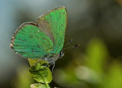 Resting Green Hairstreak (steb1) Tags: macro butterfly insect lepidoptera bilberry 2015 lycaenidae greenhairstreak callophrysrubi whixallmoss canon100mmf28lismacro concavediffuser