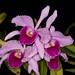 Laelia purpurata – Janice Krause