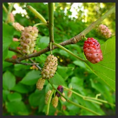 Mulberries. Dazzlingly delicious. Our 3 trees are heavily laden with mulberries. A doe visits often at dusk, eating berries off the ground and in the trees. #JJAProject June 9 (LauraGilchrist4) Tags: tree nature leaves midwest berries kansascity mulberry mulberries
