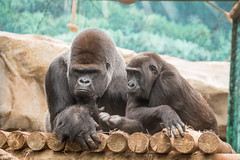 2015-05-05-12h00m40.BL7R6502 (A.J. Haverkamp) Tags: france zoo gorilla centre frankrijk khala dierentuin saintaignansurcher asato saintaignan westelijkelaaglandgorilla canonef100400mmf4556lisusmlens pobjerseyisland beaval httpwwwzoobeauvalcom dob20101991 dob03062007