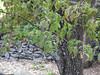 Dogwood In Fruit (virginia.arboretum) Tags: flower landscape florida scenic arboretum dogwood boyce cornus virginiastatetree
