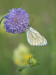 Un habitant de la prairie **--- -° (Titole) Tags: white butterfly papillon blackveinedwhite scabious aporiacrataegi scabieuse piéridedelaubépine gazé grootgeaderdwitje unanimouswinner pieridedelbiancospino friendlychallenges thechallengefactory baumweisling herowinner titole nicolefaton