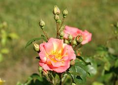 IMG_4234 (hemingwayfoto) Tags: rose flora pflanze gelb masquerade blume blte stadtpark botanik blhen duftend bltenstempel rosengewchs beetrose fcwettbewerb
