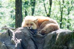 宮城蔵王キツネ村 (GenJapan1986) Tags: 2015 キツネ 動物 宮城県 宮城蔵王キツネ村 白石市 日本 japan miyagi nikond610 fox animal