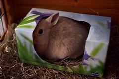 Hidden in the Tissue Box (July, 2012) (emilykember) Tags: cute rabbit bunny canon oliver bokeh box sigma fawn hay tissuebox 30mm netherlanddwarf 50d itsagiraffe