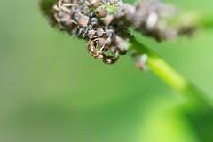 fourmi  la traite.jpg (Sylvain Bdard) Tags: nature ant insects aphid fourmi puceron commensalism commensalisme