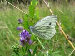 Butterfly 616 (+270000 views!) Tags: butterfly papillon borboleta mariposa farfalla schmetterling