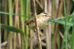 IMGP2794 Sedge Warbler, Lackford Lakes, July 2015 (bobchappell55) Tags: bird nature wildlife lakes reserve trust warbler sedge lackford suufolk