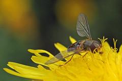 Episyrphus balteatus (dark form) (Roy Lowry) Tags: episyrphusbalteatus marmaladefly burtonmerewetlands hoverfly