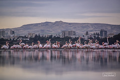 Parade (iosif.michael) Tags: sony a55 flamingos saltlake cyprus water color landscape