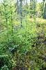 Larix laricina-07 (Tree Library) Tags: tamarack larixlaricina