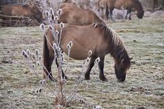 30-12-2016 - Oostvaardersplassen - DSC09397 (schonenburg2) Tags: oostvaardersplassen konikpaarden winter