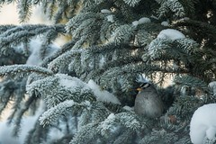 Safe Haven (amarilloladi) Tags: pacificnorthwest washington tmt 7dwf sparrow birds evergreen trees sprucetree branches flockedtree winter snow norwayspruce whitecrownedsparrow wow