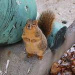 Squirrels in Ann Arbor at the University of Michigan (December 9, 2016) thumbnail