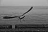 Vlissingen (rwscholte) Tags: bnw rwscholte monochrome vlissingen bird water leica dluxtyp109