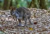 OK ... Dial The Cute Up To 10 (gecko47) Tags: animal mammal marsupial macropod pademelon redneckedpademelon thylogalewilcoxi rainforest clearing mtglorious daguilarnationalpark maialasection brisbane aww