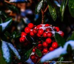 Nandina On Ice (T i s d a l e) Tags: tisdale nandinaonice nandina berries sleet storm cold frozen likeachey farm winter january 2017 easternnc