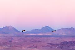 Flamenco en vuelo (josefrancisco.salgado) Tags: 70200mmf28gvrii atacamadesert chile d810a desiertodeatacama iiregióndeantofagasta lagunachaxa lightroom nikkor nikon provinciadeelloa reservanacionallosflamencos ave bird desert desierto fauna flamenco flamingo montaña mountain panorama pájaro salar saltflats cl