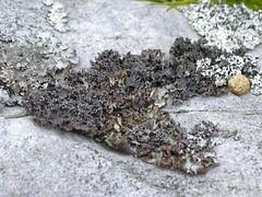 Photo of Platismatia glauca (centre), Parmelia saxatilis (left) and Hypogymnia physodes (right)