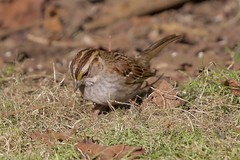 White-throated Sparrow/tan stripe (AtmosFear Video) Tags: whitethroatedsparrow tanstriped