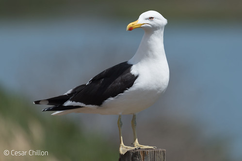 Gaviota dominicana - Kelp Gull - Larus dominicanus
