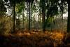 Autumn Heather (Northern.Exile) Tags: woodlandwonder bournewoods britishwoodland autumnal autumn autumncolours landscape photosofbritain woodland britian nikon d3300 beginner photonewbie kitlens 1855mm forest woods heather undergrowth