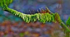 Moss (jeansmachines24) Tags: moss clyne bokeh light autumn2016