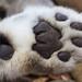 Snow leopard paw