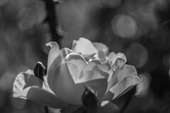 (C-47) Tags: flowers helios 442 canon eos 7d mk mark ii m42 bokeh plant nature blackwhite bw beautiful blanc beauty noir noirblanc nice noiretblanc dof deep details depth petals