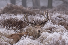 Red Deer Stag (Gary Hickson Photography L.R.P.S.) Tags: reddeer stag stags animal wildanimal wildlife wild richmondpark surrey london frost ice winter antlers landscape nikon d750