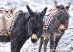 Donkey (Michael S Liu) Tags: ladakh travel hemisnationalpark kashmir highaltitude snow winter donkey nature animal adventure