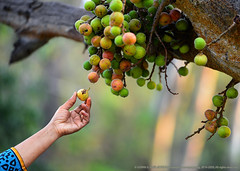 """IF YOU WOULD ENJOY THE FRUIT, PLUCK NOT THE FLOWER"" (GOPAN G. NAIR [ GOPS Photography ]) Tags: gops gopsorg gopsphotography gopan gopangnair photography fruit pluck fig tree colours ripe tasty"