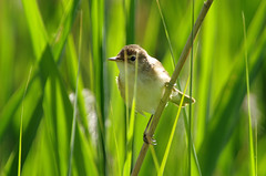 Reed Warbler (Hugobian) Tags: bird art reed nature birds animal fauna fantastic pentax wildlife reserve british warbler amwell hmwt
