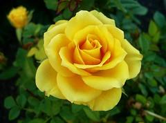 PIC_0051 (lilired) Tags: flowerpower photosandcalendar excellentsflowers natureselegantshots mimamorflowers mixofflowers flickrsportal esenciadelanaturaleza rosesforeveryone magicmomentsinyourlife onlythebestofflickr exquisiteroses
