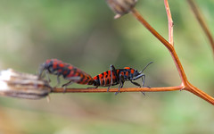 Spilostethus saxatilis (Juanraperalta) Tags: red flower macro green canon bug eos bokeh chinche hemiptera heteroptera