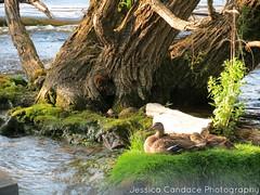 Single mom? (jessicacandacephotos) Tags: family baby nature water animal animals island duck babies michigan lansing ducks shore mystical mallard hen magical mallards babyanimals