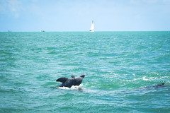Dolphins playing (michelle.murphy2) Tags: seascape dolphin keybiscayne