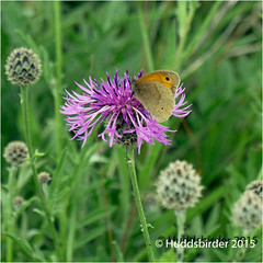 Photo of Meadow Brown