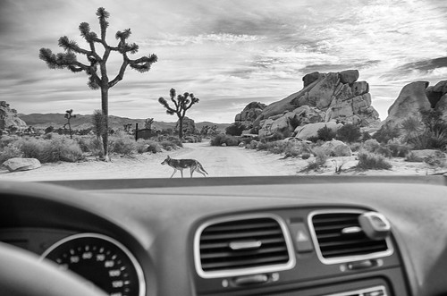 Coyote at Joshua Tree