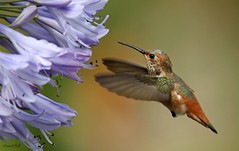 RUFOUS (sea25bill) Tags: california morning summer sun flower bird hummingbird feeding perennial rufous agapantha